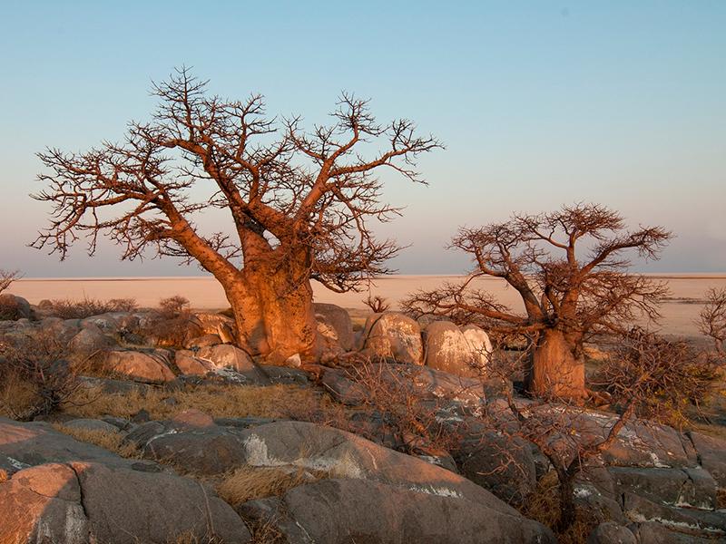Baobab-træer