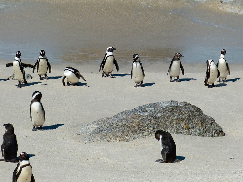 pingviner sydafrika