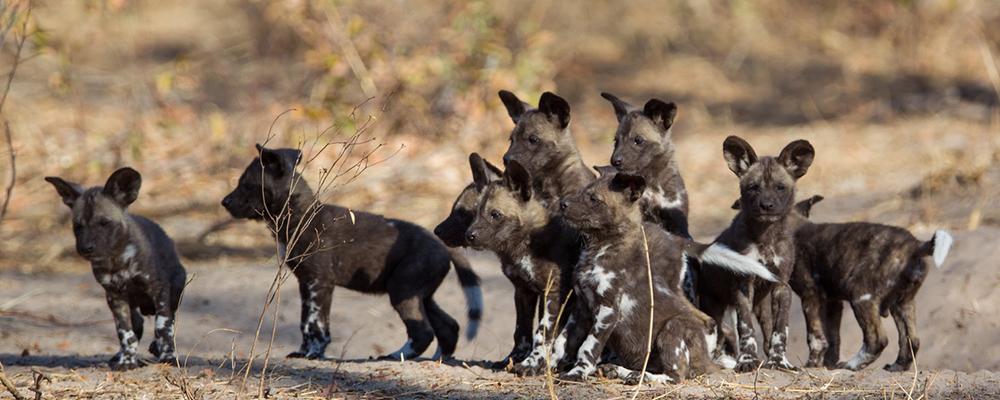 Flodkrydstogt og safari Afrikanske vildhunde