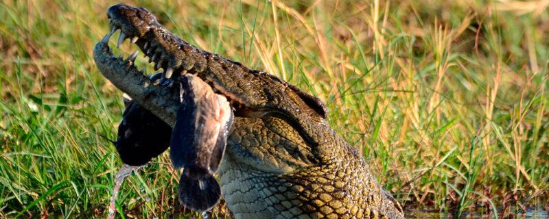 Krokodille Chobe - Botswanas højdepunkter