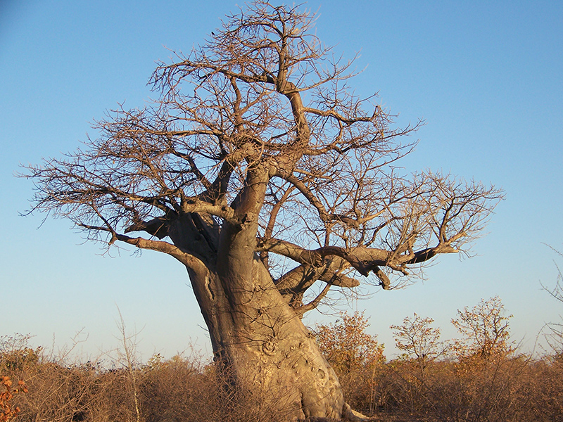 baobab - Botswanas højdepunkter