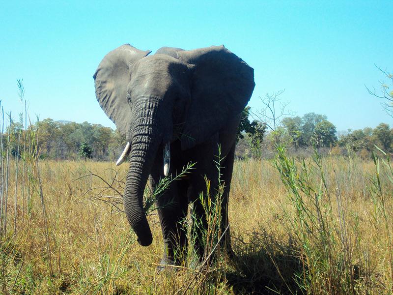 elefant malawi