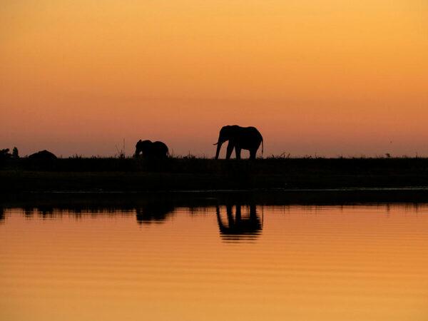 Elefanter ved Chobe-floden