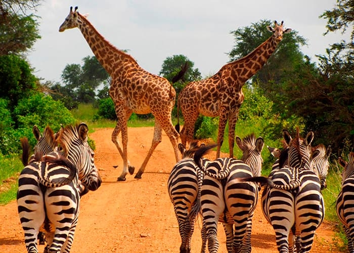 Safari i Tanzania - Mikumi