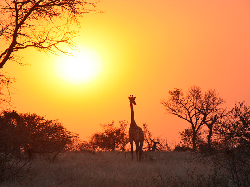 giraf zambia