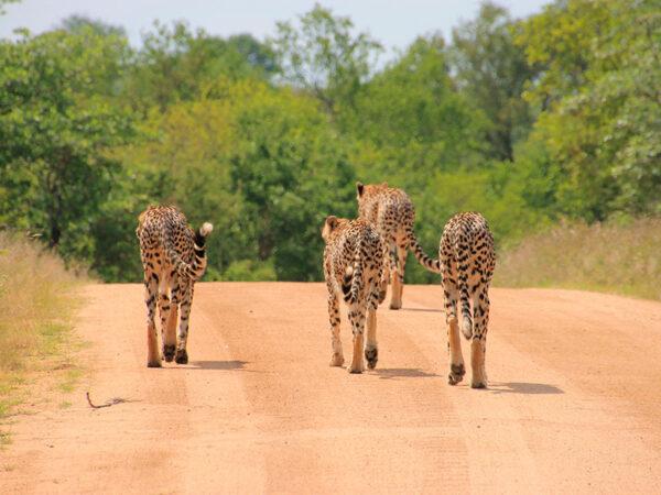 Kruger nationalpark Sydafrika