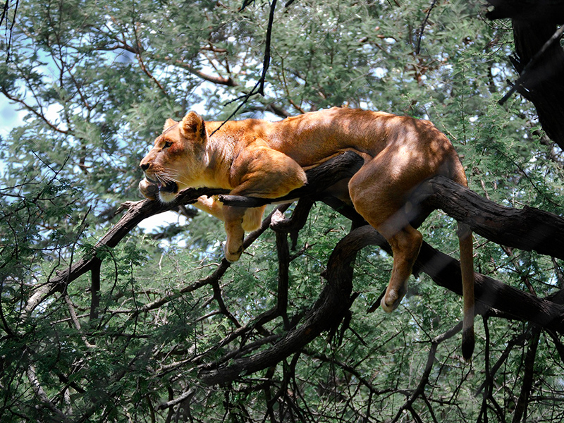 løve i træ