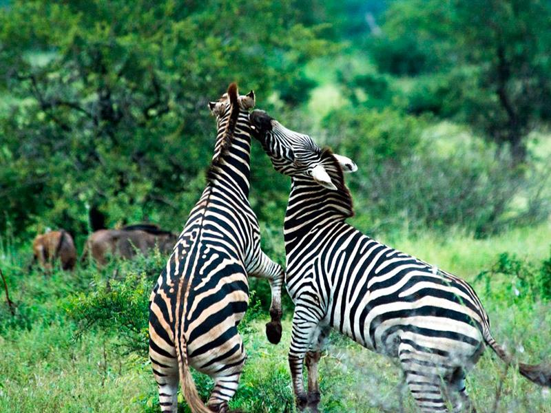 Cape Mountain Zebra - Sydafrika