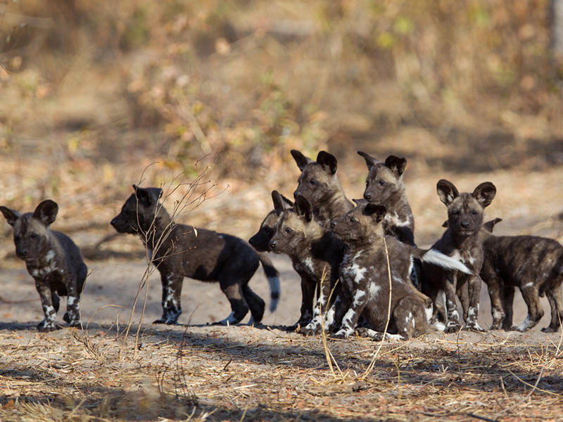 Painted Dog Conservation - hyænehund