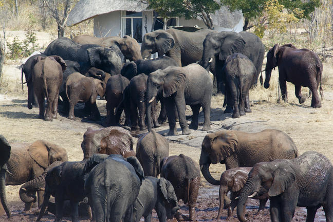 Elefanter i sable sands - Safari i Botswana og Zimbabwe