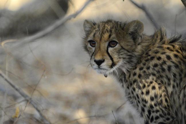 dyrelivet i Dete Vlei - Safari i Botswana og Zimbabwe