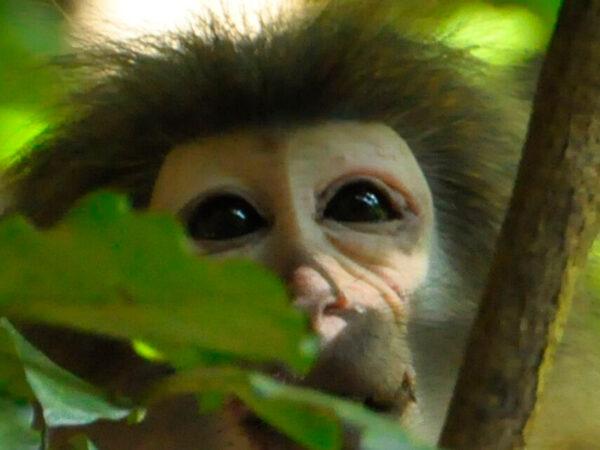 primater