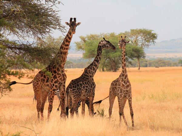 safari og badeferie i Tanzania - giraffer serengeti