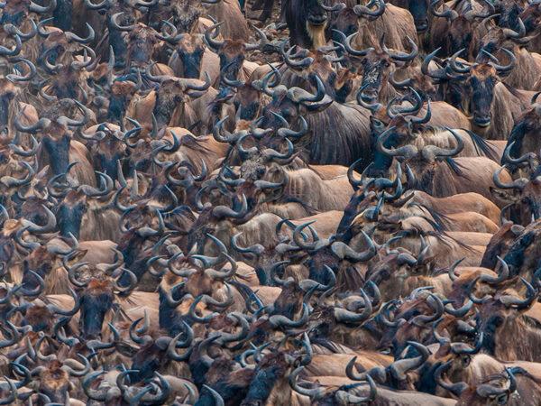 Den store migration - Gnuer