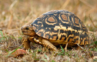 masai mara turtle