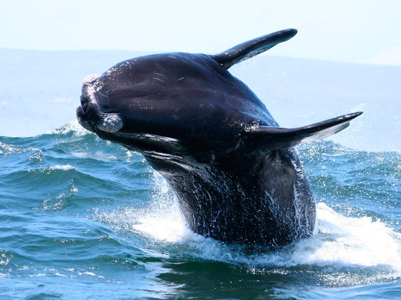 hvalsafari sydafrika
